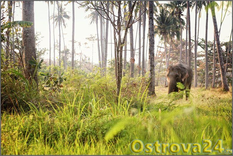 Слон гуляет на выпасе